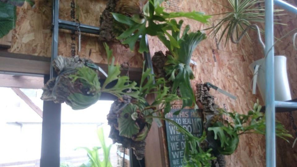 cocoha(ココハ)何という植物