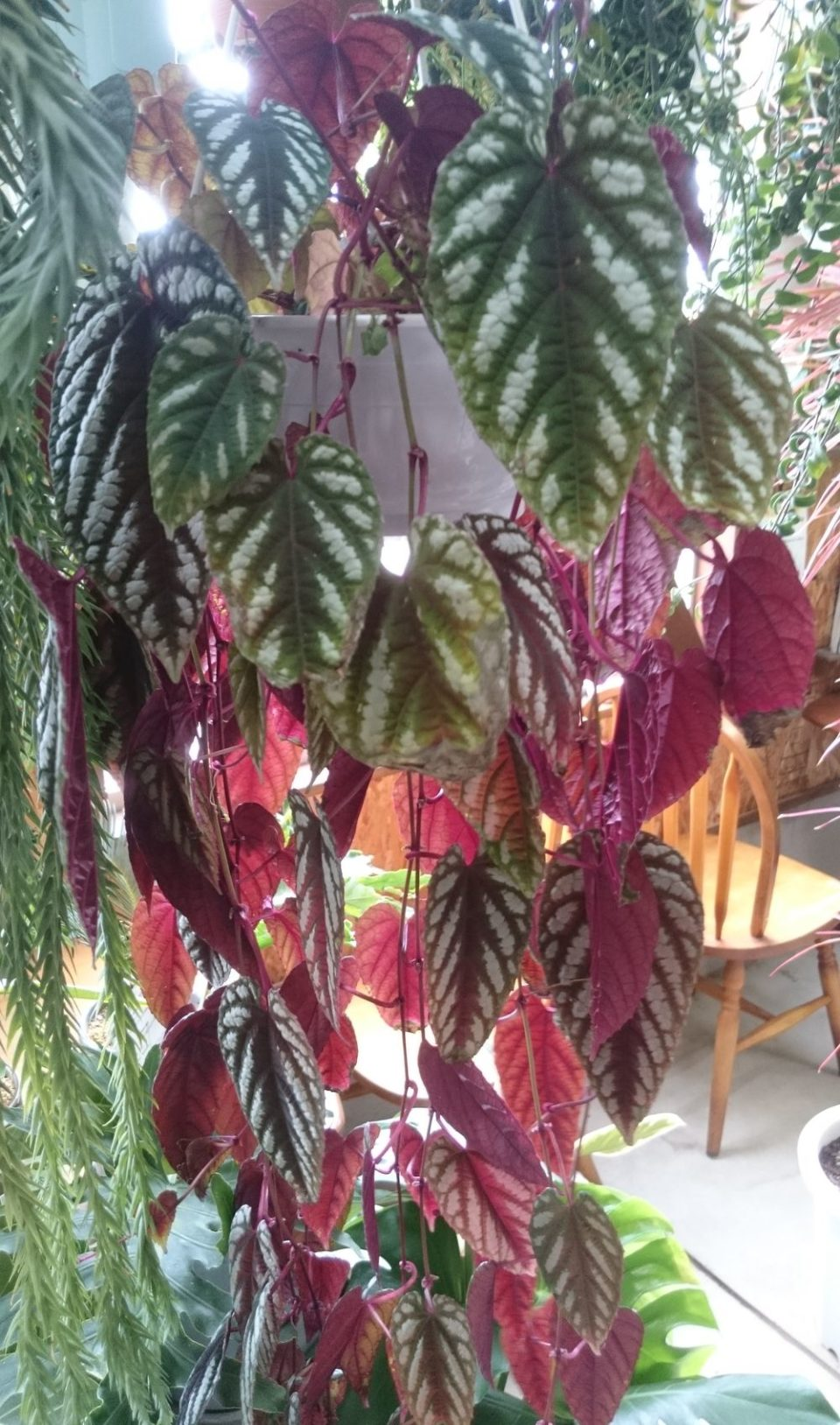 cocoha(ココハ)長さのある観葉植物