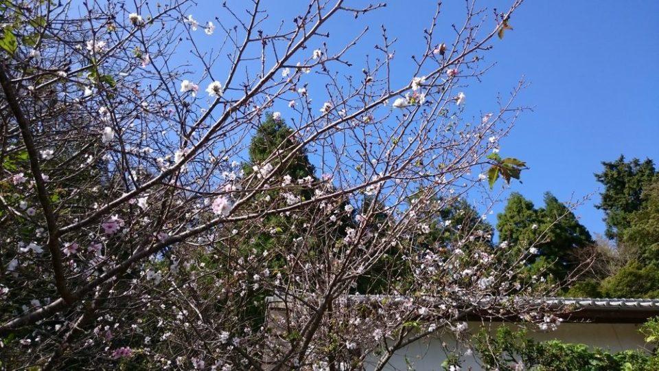 火山 桜?