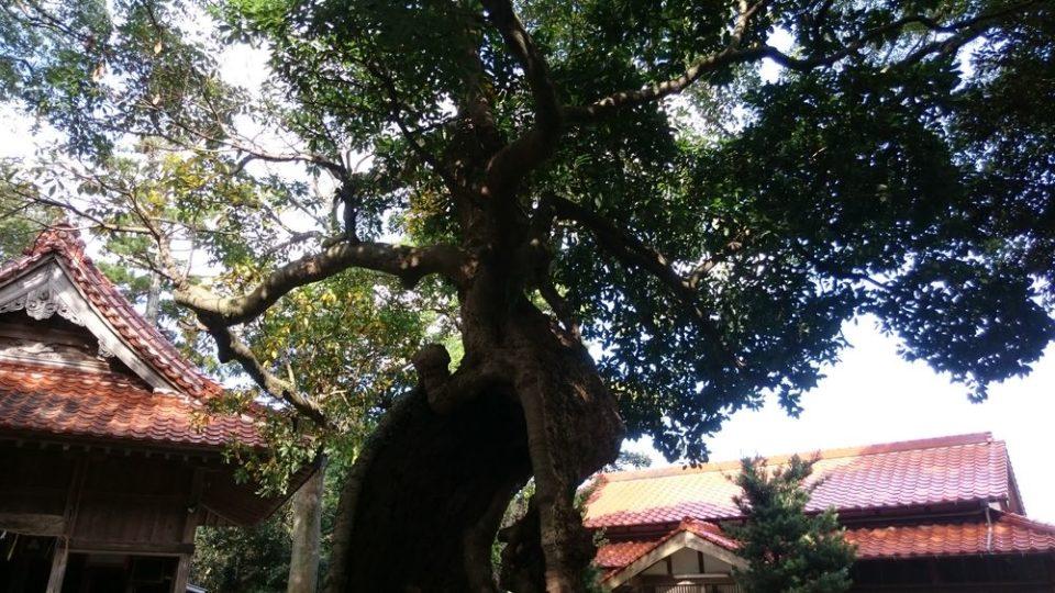 雉琴神社 大木