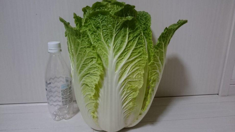 博多じょうもんさん 福重市場 でかい白菜