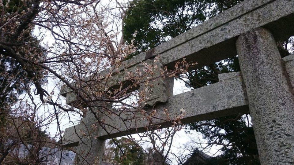 小富士梅林 糸島 天満宮の鳥居と梅
