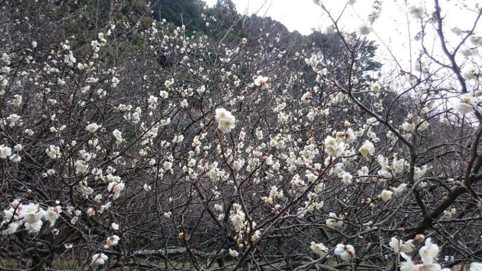 小富士梅林 糸島 梅の開花状況