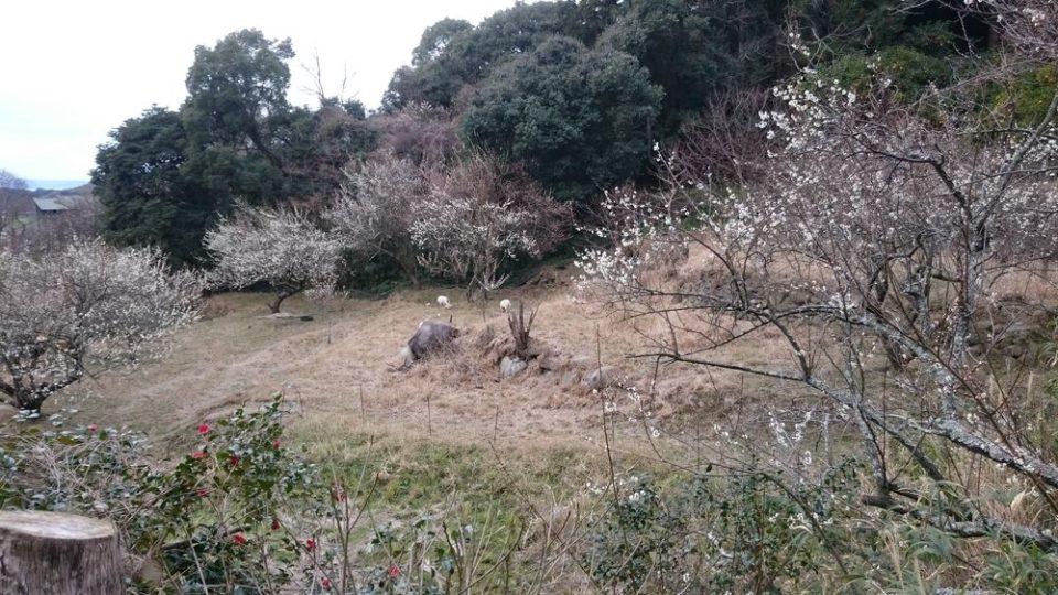小富士梅林 糸島 梅の花見