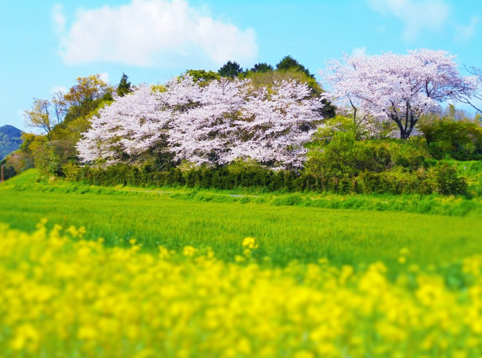 糸島の桜の花見スポット